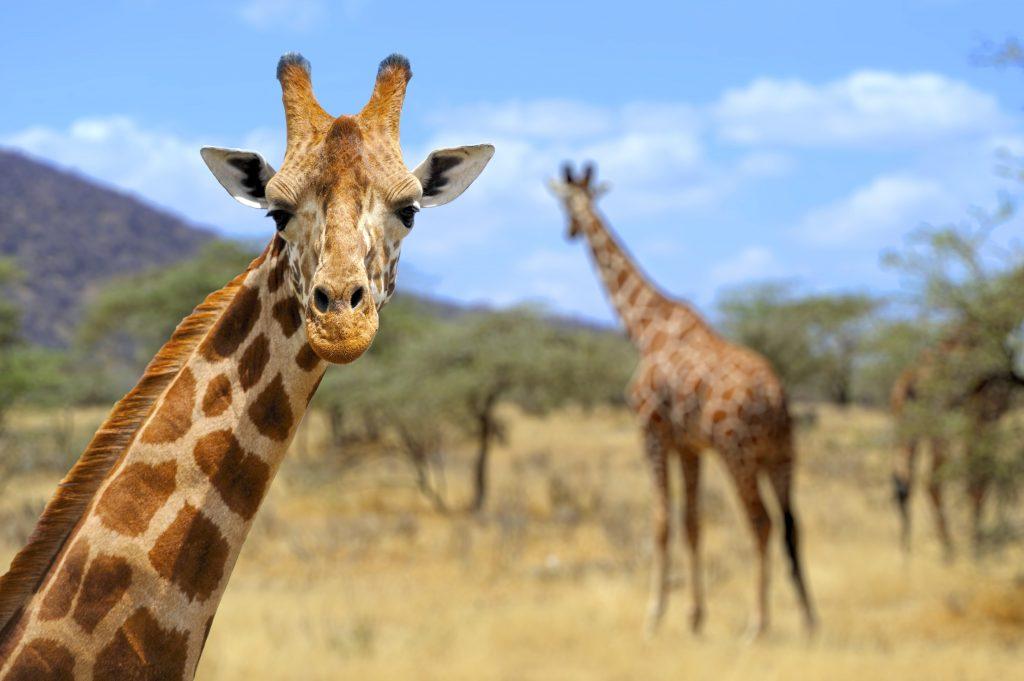 giraffe-featured